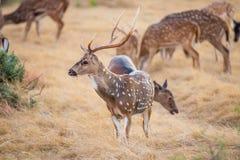 Cervos da linha central Imagem de Stock