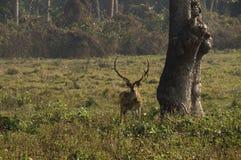 Cervos da linha central, Nepal Foto de Stock