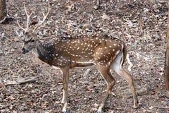 Cervos da linha central uma rapina do tigre imagem de stock royalty free