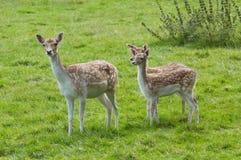 Cervos da matriz e do bebê fotografia de stock