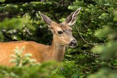 Cervos da Preto-cauda de Sitka fotos de stock