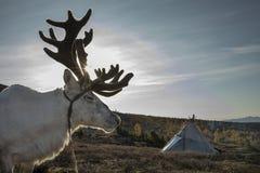 Cervos da rédea em Mongólia do norte Imagens de Stock