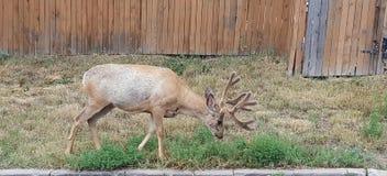 Cervos da vizinhança Foto de Stock