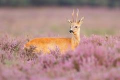Cervos das ovas Imagem de Stock Royalty Free