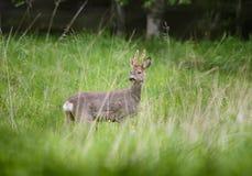 Cervos das ovas Fotos de Stock