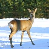 Cervos das ovas Fotos de Stock Royalty Free