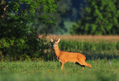 Cervos das ovas Imagens de Stock Royalty Free