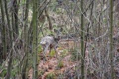 Cervos das ovas Foto de Stock