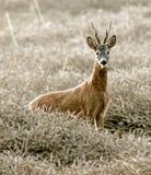 Cervos das ovas Foto de Stock Royalty Free