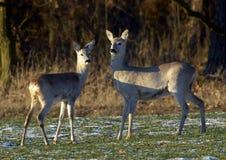 Cervos das ovas (capreolus do Capreolus) Fotografia de Stock