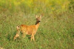 Cervos das ovas em um prado Fotos de Stock Royalty Free