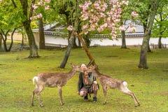 Cervos de alimentação Hanami de Nara Fotos de Stock