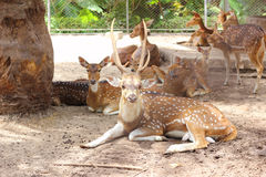 Cervos de Chital Foto de Stock Royalty Free