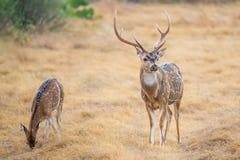 Cervos de Chital Imagens de Stock Royalty Free