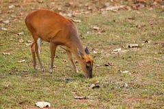 Cervos de descascamento Fotografia de Stock Royalty Free