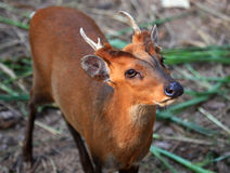 Cervos de descascamento Foto de Stock Royalty Free