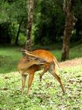 Cervos de descascamento Imagens de Stock Royalty Free