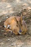 Cervos de descascamento em meu parque Imagens de Stock Royalty Free