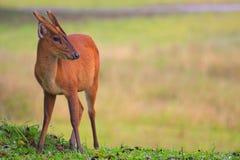 Cervos de descascamento no parque nacional do khaoyai Foto de Stock