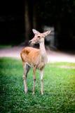 Cervos de Eld Fotografia de Stock Royalty Free