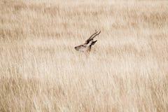 Cervos de encontro em uma grama no verão Fotos de Stock Royalty Free