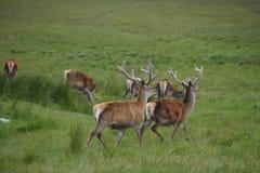 Cervos de escape nas montanhas de Escócia Fotos de Stock