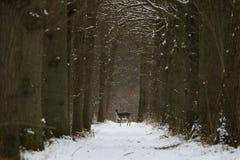 Cervos de Fallow Imagens de Stock Royalty Free