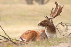 Cervos de Fallow Fotografia de Stock Royalty Free