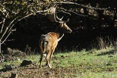 Cervos de Fallow Imagem de Stock