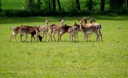 Cervos de Fallow Imagem de Stock Royalty Free
