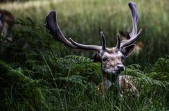 Cervos de Fallow Fotos de Stock Royalty Free