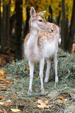 Cervos de Fallow Fotografia de Stock