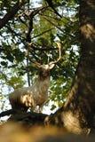 Cervos de fallow brancos em mais forrest Fotos de Stock Royalty Free