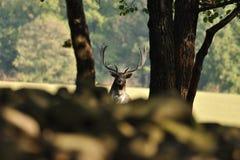 Cervos de Fallow com o mais forrest no fundo Imagem de Stock Royalty Free