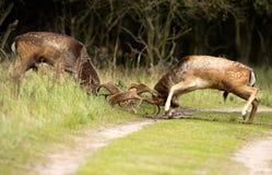 Cervos de Fallow da luta fotografia de stock royalty free