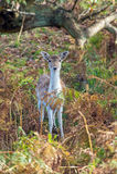 Cervos de Fallow (dama do Dama) Imagens de Stock