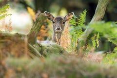 Cervos de Fallow (dama do Dama) Imagem de Stock Royalty Free