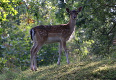 Cervos de Fallow (dama do Dama) Fotos de Stock