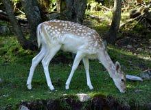 Cervos de Fallow dentro de um parque em Quebeque, Canadá Imagem de Stock