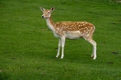 Cervos de Fallow fêmeas Imagem de Stock Royalty Free