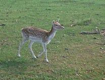 Cervos de Fallow fêmeas Imagem de Stock