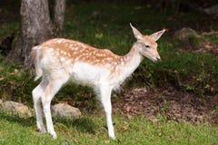 Cervos de Fallow juvenis Foto de Stock Royalty Free