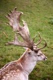 Cervos de fallow masculinos Imagens de Stock