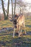 Cervos de Fallow masculinos Fotos de Stock