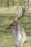 Cervos de Fallow masculinos Imagem de Stock