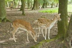 Cervos de Fallow na floresta preta, Alemanha Fotografia de Stock