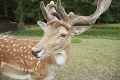 Cervos de Fallow na floresta preta, Alemanha Imagem de Stock Royalty Free
