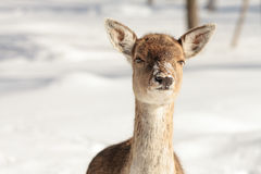 Cervos de Fallow na neve Imagem de Stock Royalty Free