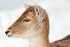 Cervos de Fallow na neve Foto de Stock