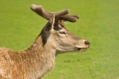 Cervos de Fallow no pasto Imagens de Stock